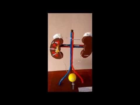 Maquete funcional sistema urinário - YouTube | Sistemas | Pinterest ...