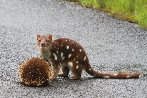 Tumblr Quoll Australian Animals Animals Beautiful