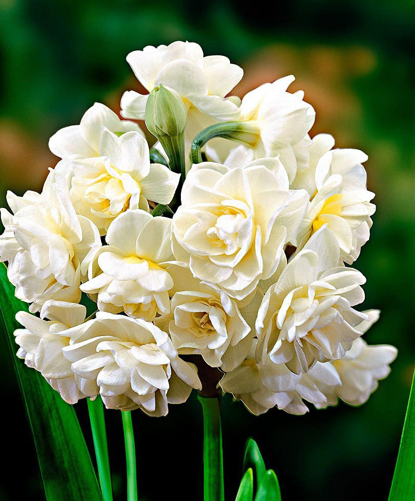 Summer Narcissi Erlicheer Flower Bulbs From Spalding Bulb Bulb Flowers Planting Flowers Daffodil Flower