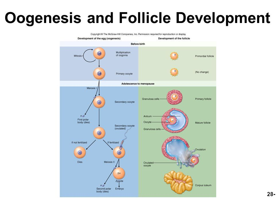Image Result For Stages Of Oocyte Development Physiology Anatomy Adolescence