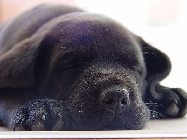 Cute Black Labrador Puppy Sleeping Close Up By Mintimage Via