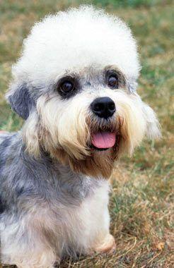 Dandie Dinmont Terrier Dog Breed Dandie Dinmont Terrier Terrier