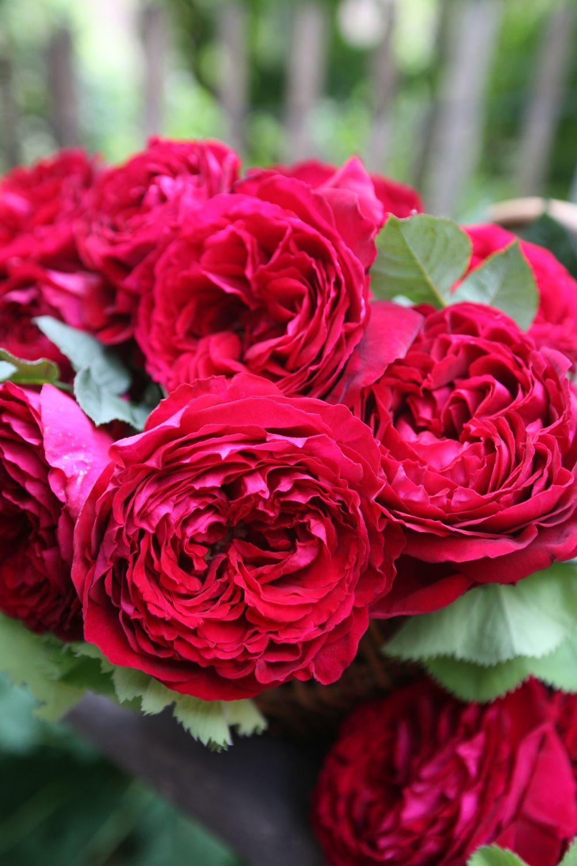 """German rose Tantau """"Gospel"""""""