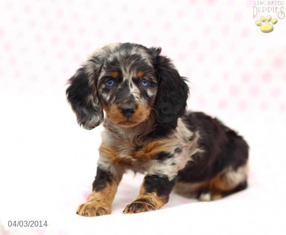 Dachshund Puppy For Sale In Pennsylvania Dachshund Puppies