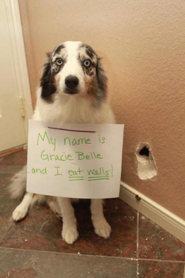 Dog Who Eats Walls Bad Dog Dogs Dog Shaming Photos