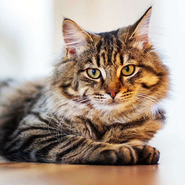 Long haired Cat Tabby Cat Siberian cat, Cat breeds