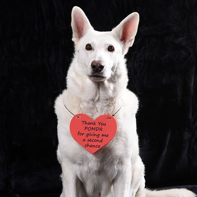 Images Of Pacific Grove California Photography White German Shepherd Senior Dog Rescue Dogs