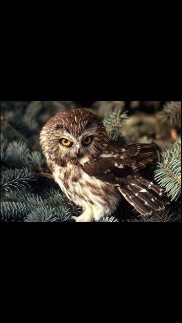 Whet Owl