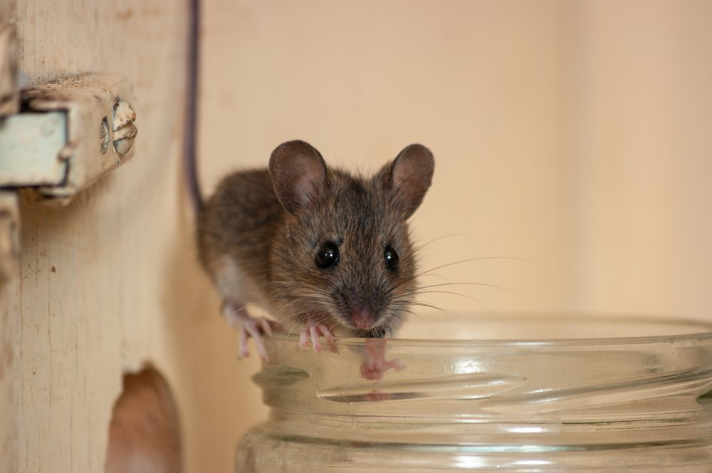 This Surprising Hack Will Keep Mice Away For Good Keep Mice Away Mice Repellent Home Remedies For Mice