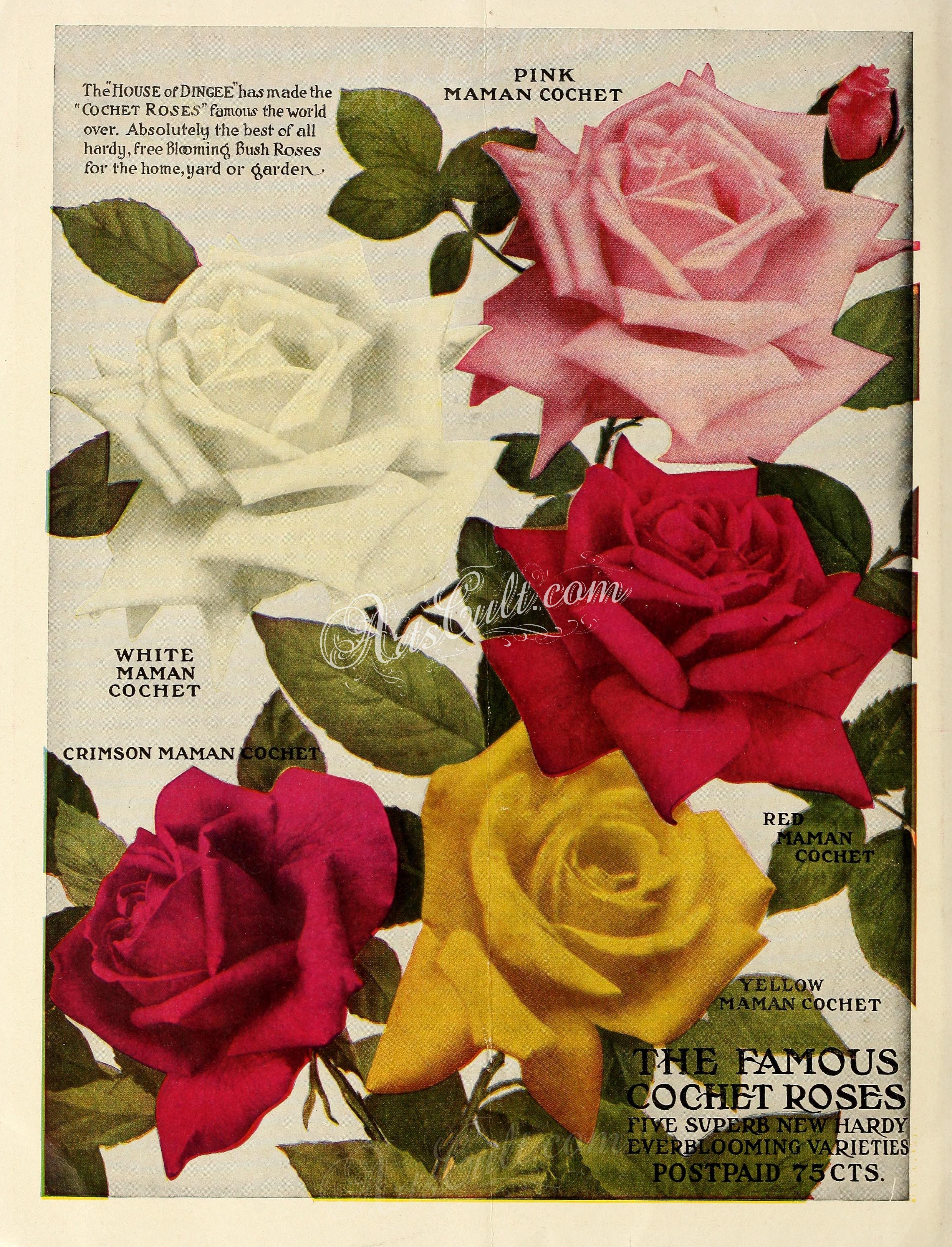 Seeds Catalogs 01623 053 Rose Botanical Fl Botany Natural Naturalist Nature Flowers Flower Beautiful Nice