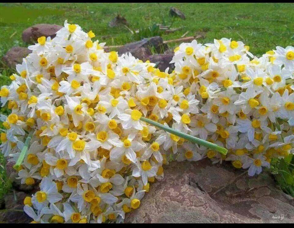 Nergiz flower from kurdistan Amazing nature, Beautiful
