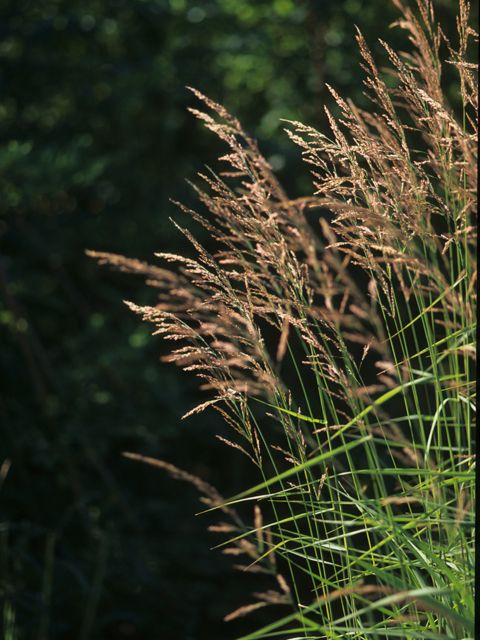 "Calamagrostis canadensis - Bluejoint (native grass; grows to 3-5"", tolerates shade)"