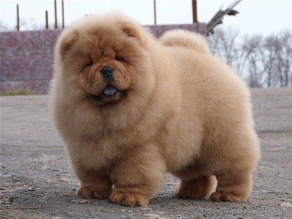 Pin On Chowchow Pups