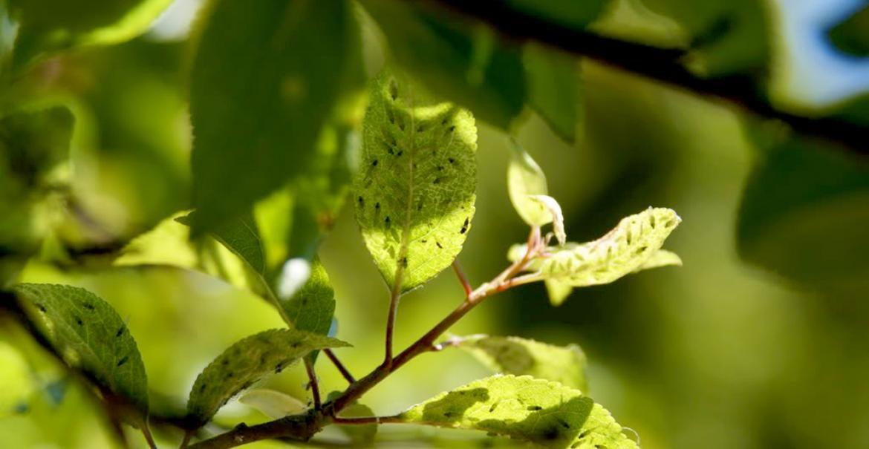 Păduchele cenuşiu al prunului | Paradis Verde