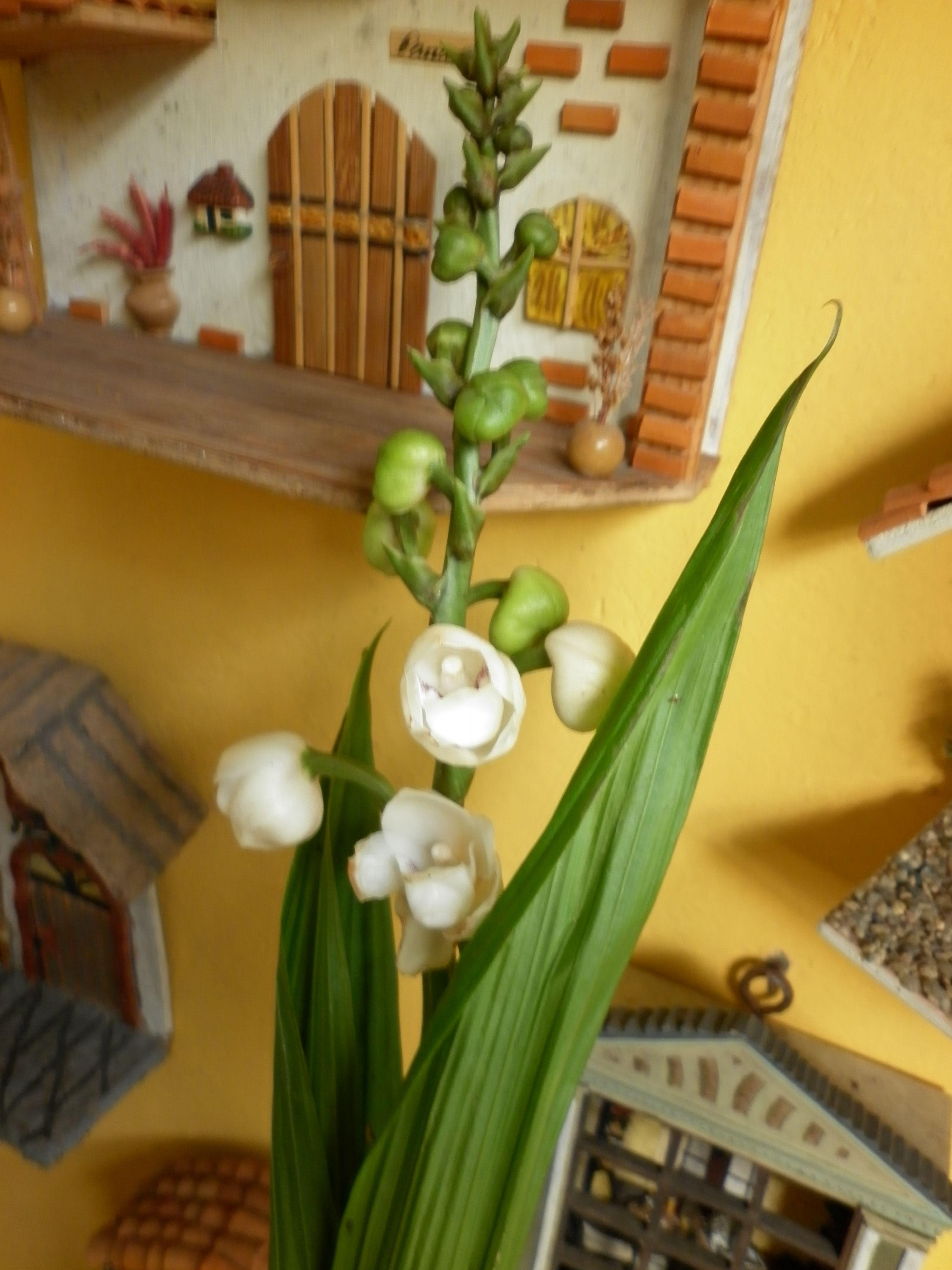 Orquidea Peristeria Elata Flor Del Espìritu Santo Flor Nacional De Panamà Tropical Plants Orchids Plants