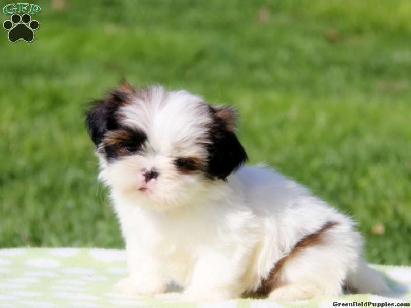 Pennsylvania Gold And White Shih Tzu Puppies For Sale Google