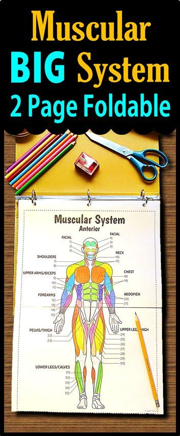 Muscular System Big Foldable For Interactive Notebooks Or Binders