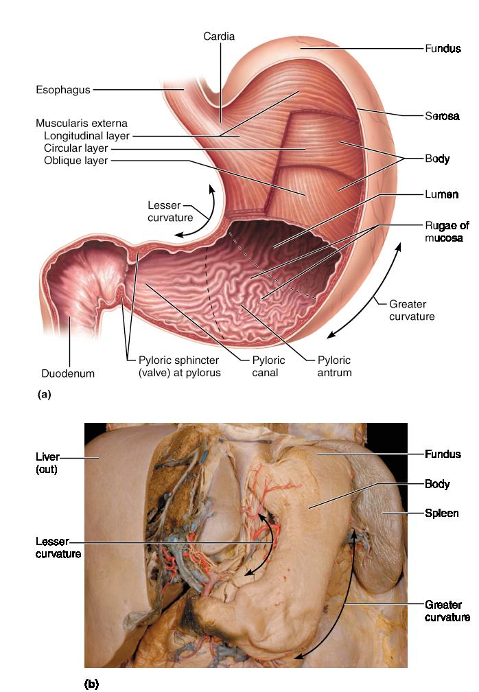 Anatomy Of The Alimentary Canal Anatomy Digestive System Anatomy
