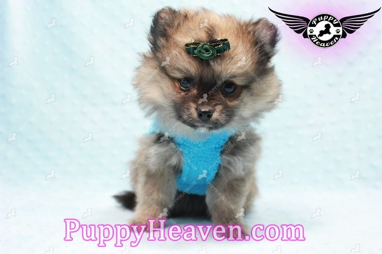 Pomeranian Puppies For Sale In Los Angeles Craigslist Presa Canario Puppies For Sale From Reputable Do In 2020 Funny Boxer Puppies Boxer Puppies For Sale Boxer Puppies