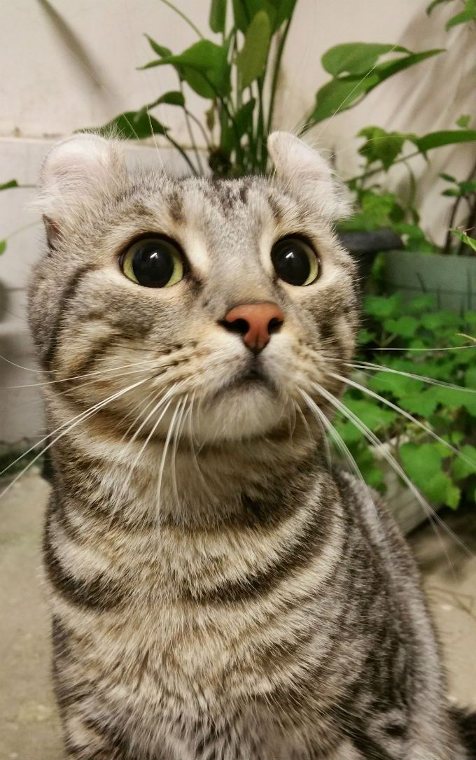 American Curl Cat Breed Information, Pictures