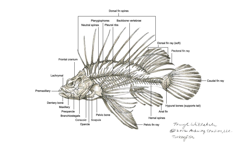 turkeyfish skel ortho label lionfish animal skulls. Black Bedroom Furniture Sets. Home Design Ideas