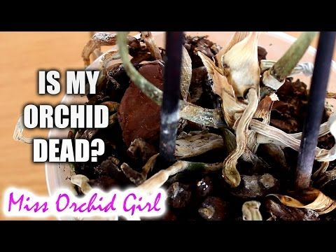 Rejuvenating Stressed Orchids Part 1 Limp Leathery Leaves Youtube Orchid Roots Orchids Orchid Care