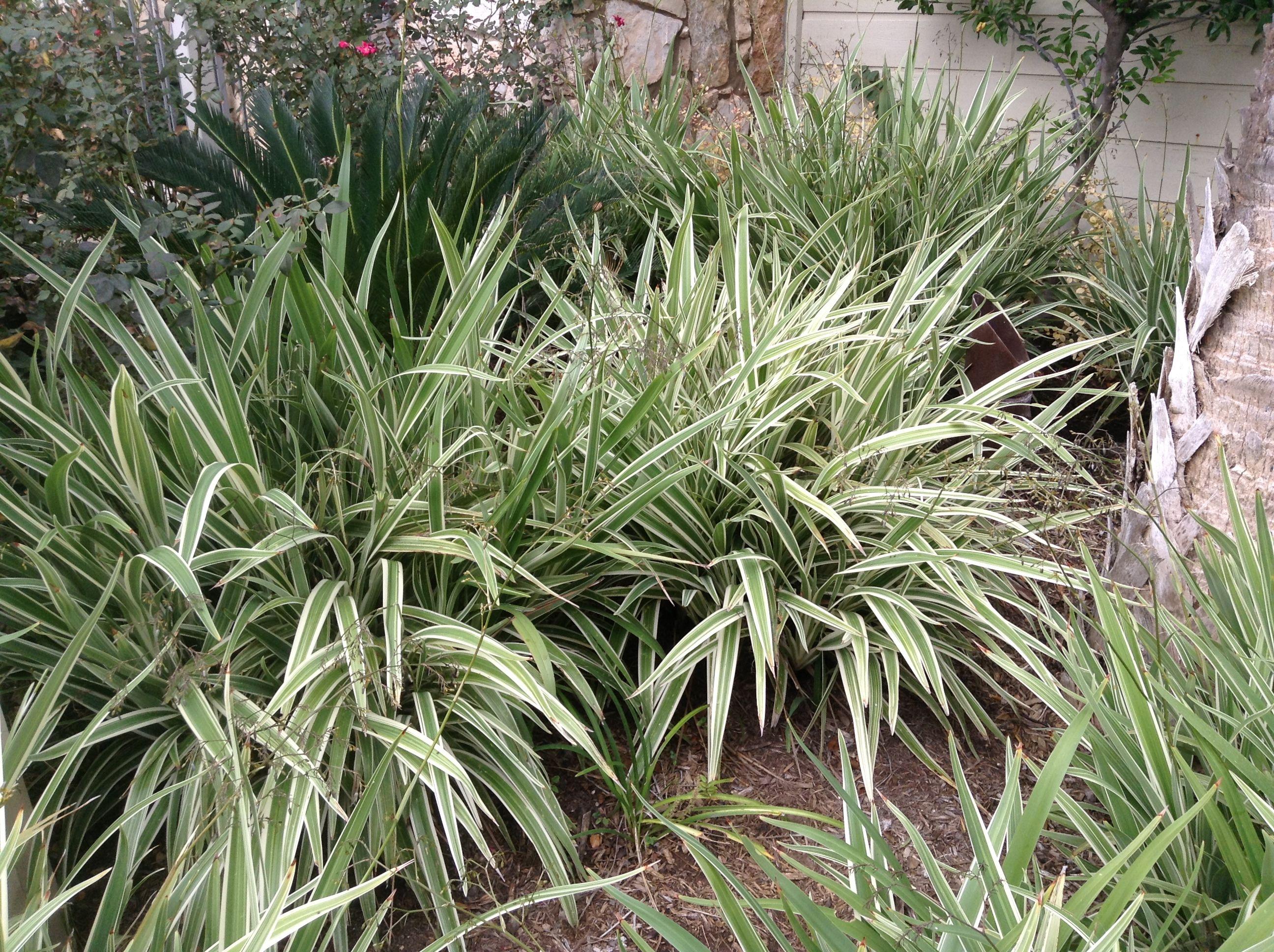 Striped long grass backyardz pinterest for Like long grasses