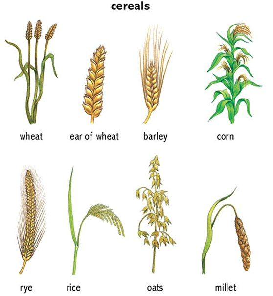 Types Of Cereal, Wheat Cereal, Edible Wild Plants