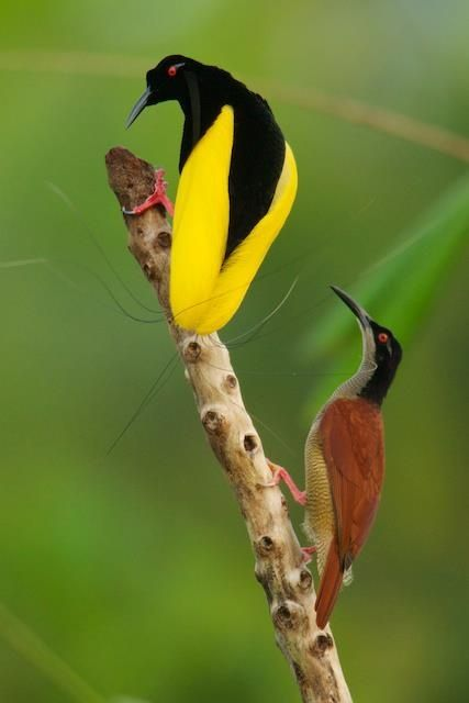 Seleucidis melanoleucus / Ave-del-paraíso Filamentosa / Twelve-wired Bird-of-paradise