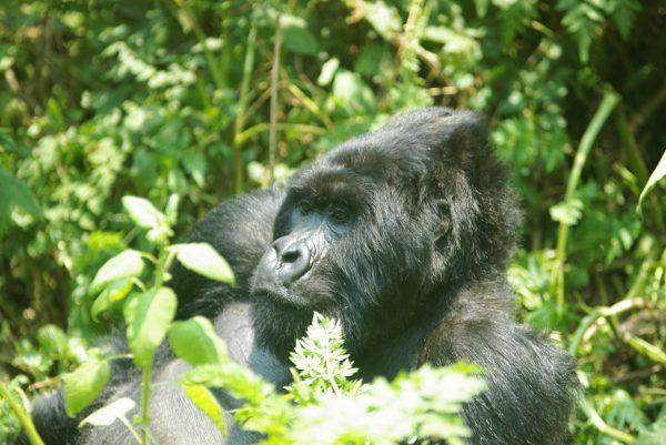 En busca de los gorilas de montaña (II)