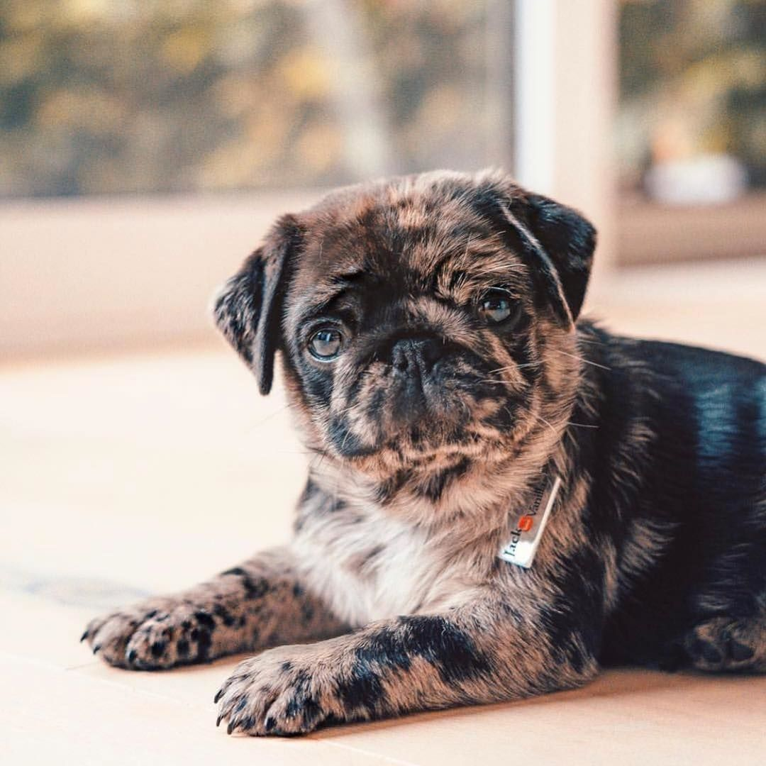 This Little Brindle Pug Is Otto Please Follow Thesoundofourshoes
