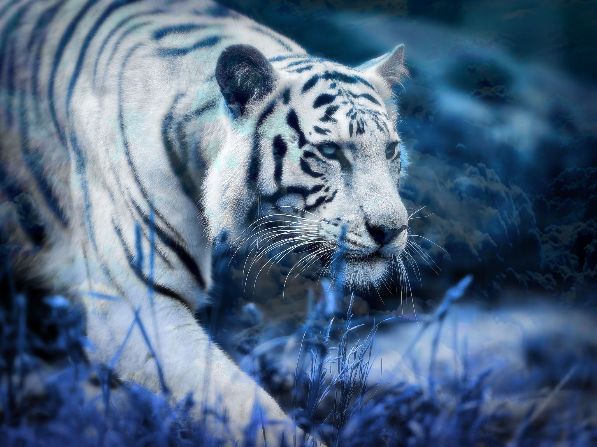White Tiger Blue Clouds Computer Wallpapers Desktop Backgrounds 2048x1536 Id 561244 Tiger Pictures White Tiger Pictures White Tiger