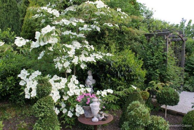 Japanischer Blumen-Hartriegel (Cornus kousa \'Venus\') | Der geheime ...
