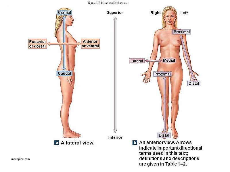 Human body direction medical terminology - www.anatomynote.com ...