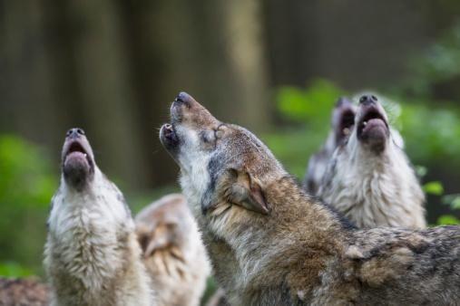RT @Lactualite: Les loups vivant dans des régions ouvertes à la chasse sont plus stressés http://bit.ly/1udhI3x