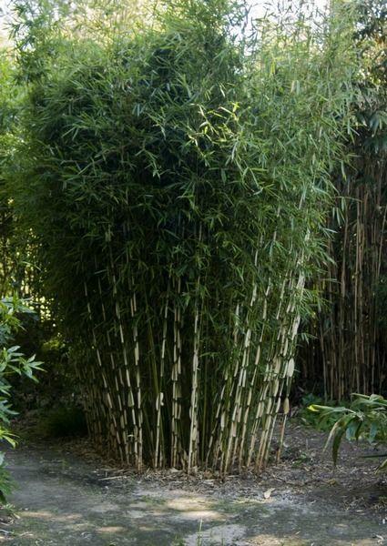 Die beste Wahl Bambus Bambus garten, Bambus pflanzen und