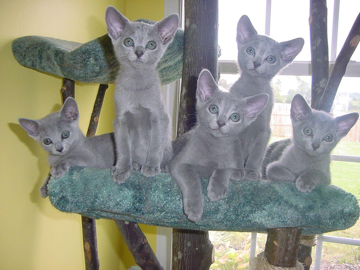 5 Russian Blue Kittens Russian Blue Grey Cats Russian Blue Cat