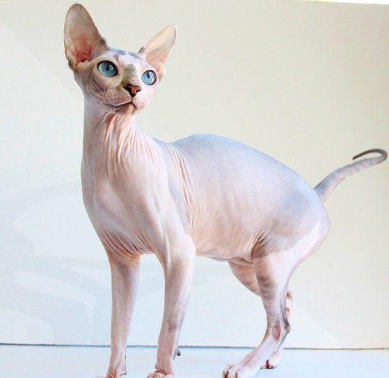 Spring Hill Fl Sphynx Girls Hairless Cats For Sale Buy A Kitten Sphynx Kittens For Sale