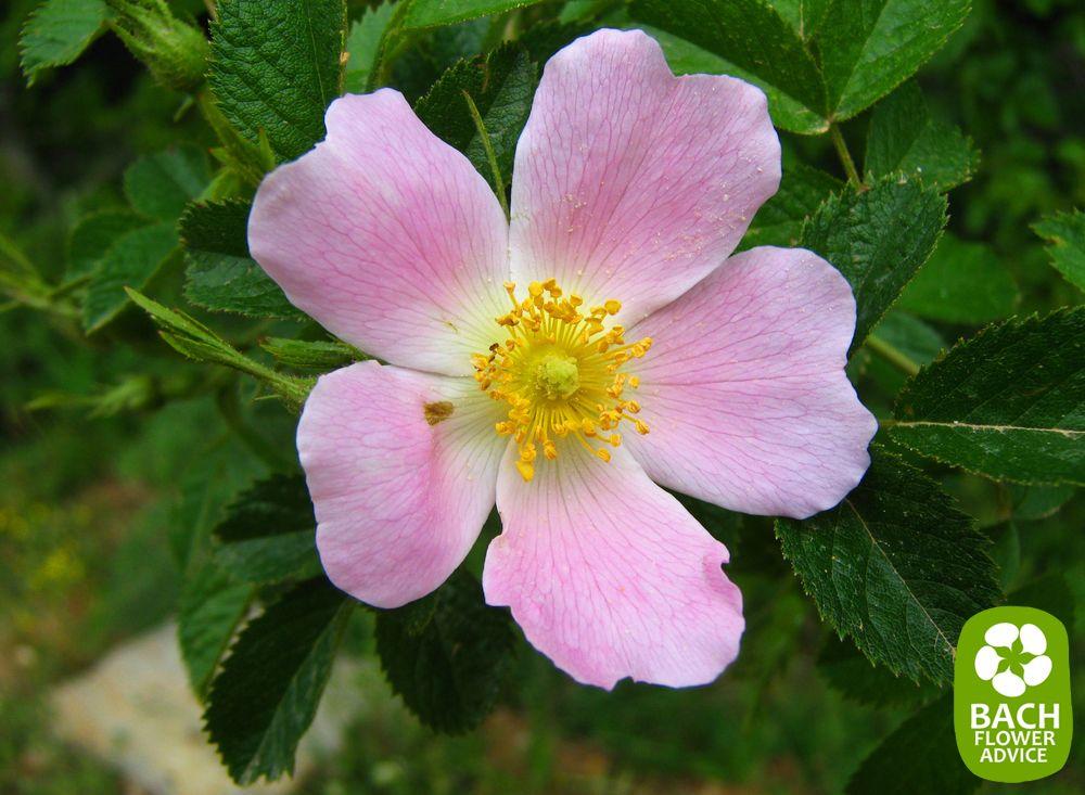 Bach Flower Essence Wild Rose Treats Feelings Of Apathy Flower Essences Bach Flowers Bach Flower Remedies