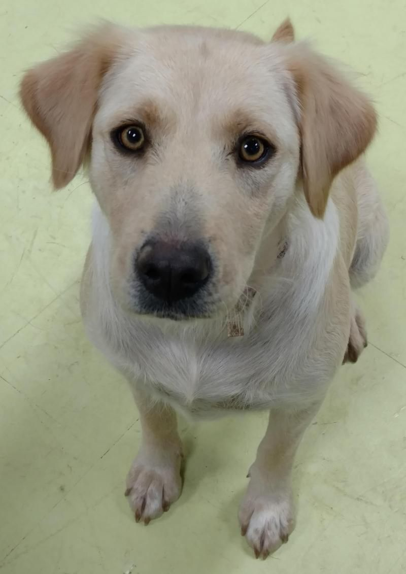 Adopt Antoinette On With Images Retriever Mix Golden