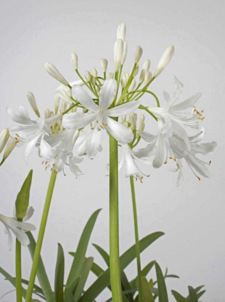 Agapanthus White Ice Agapanthus Africanus Life Is A Garden In 2020 Agapanthus Africanus Agapanthus Flower Spike