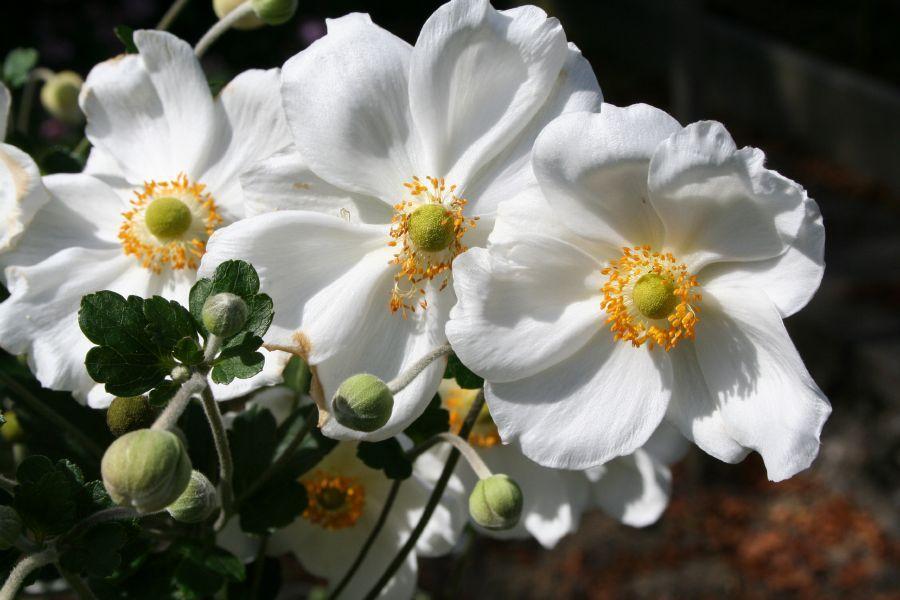 Anemone X Japonica Honorine Jobert Stauden Alles Uber Pflanzen Pflanzen