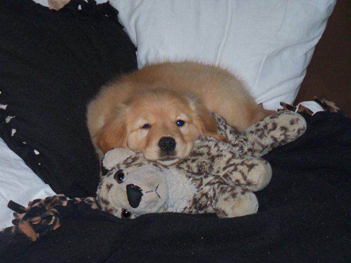 My little Jersey as a puppy! GoldenRetriever Puppies