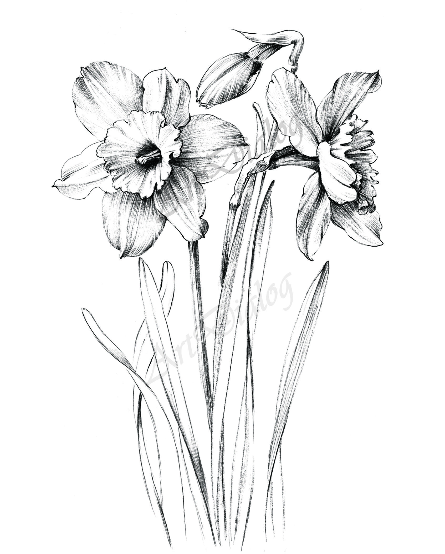 Narcissus Sketch Large Print Hand Drawn Clipart Daffodil Flower Line Drawing Botanical Prints A1 Floral Hygge Black White In 2020 Flower Art Drawing Flower Line Drawings Drawings