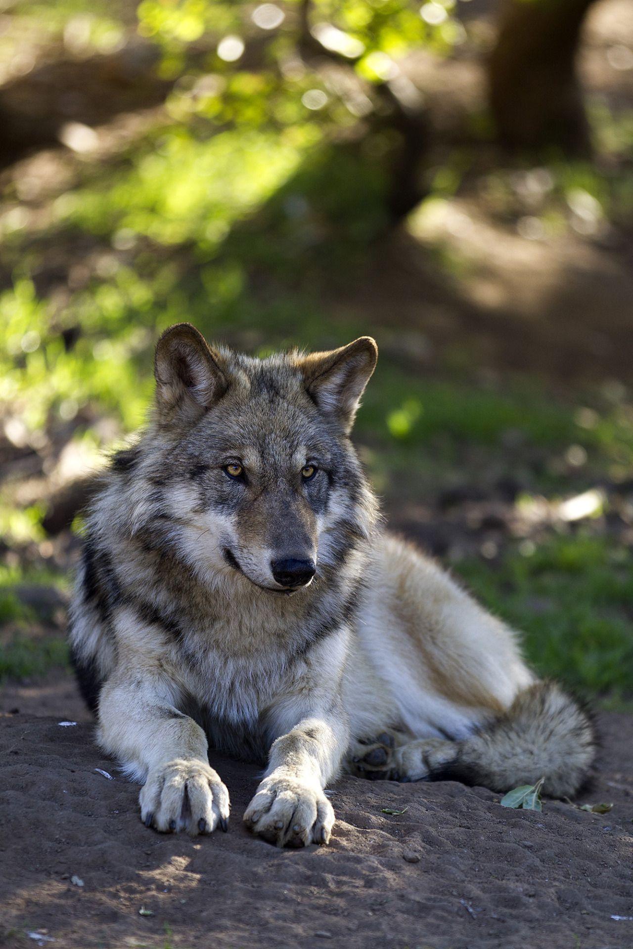Фото и картинки волков