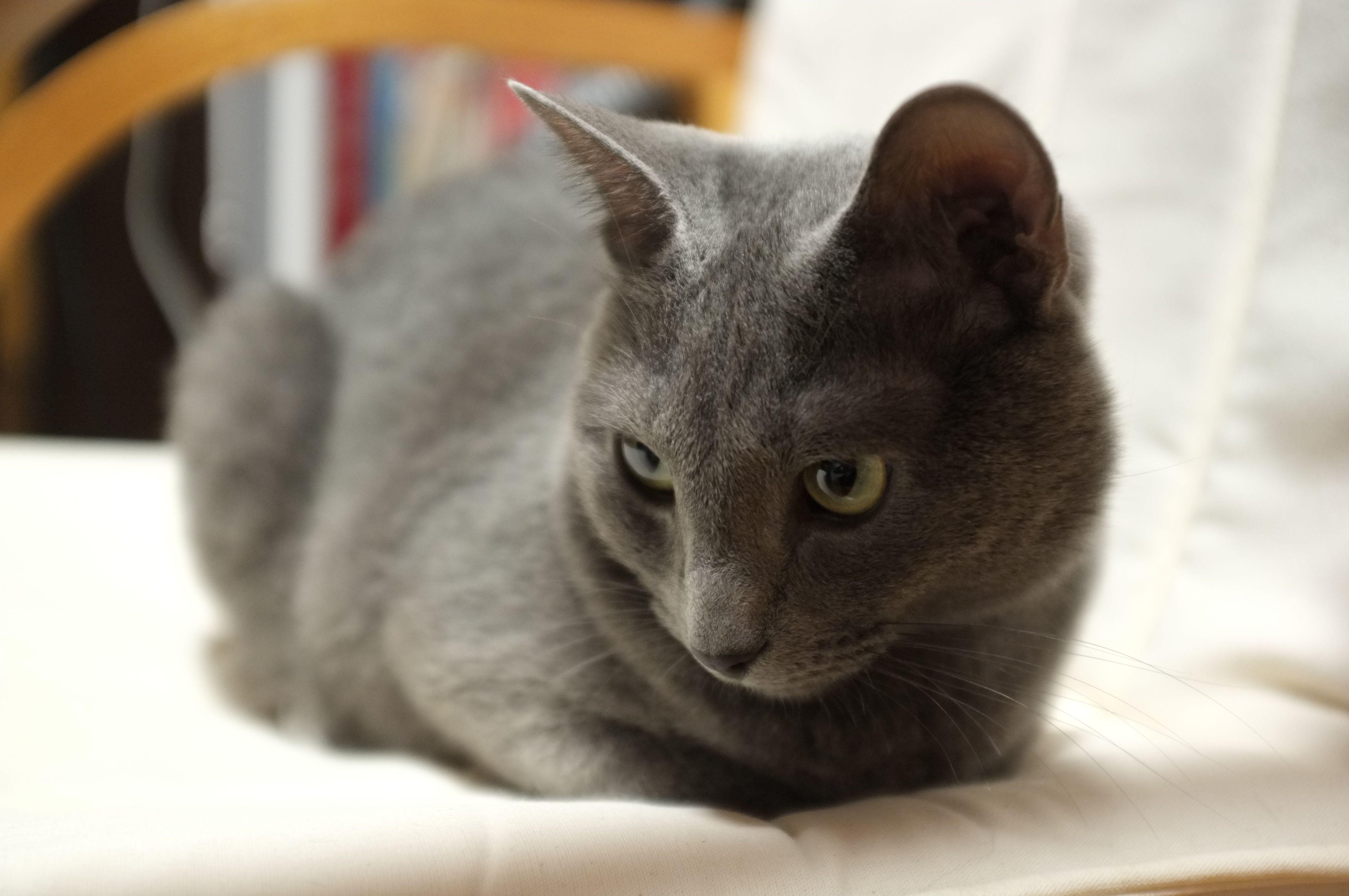 My Russian Blue Cat Russian blue cat, Russian blue, Grey