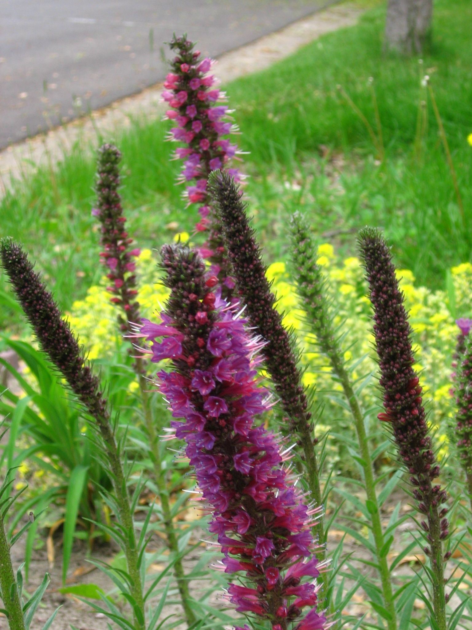 Purple Spike Flower Plant With Leaves Make Sure To Visit Gardenanswers And Our Free Idenfication