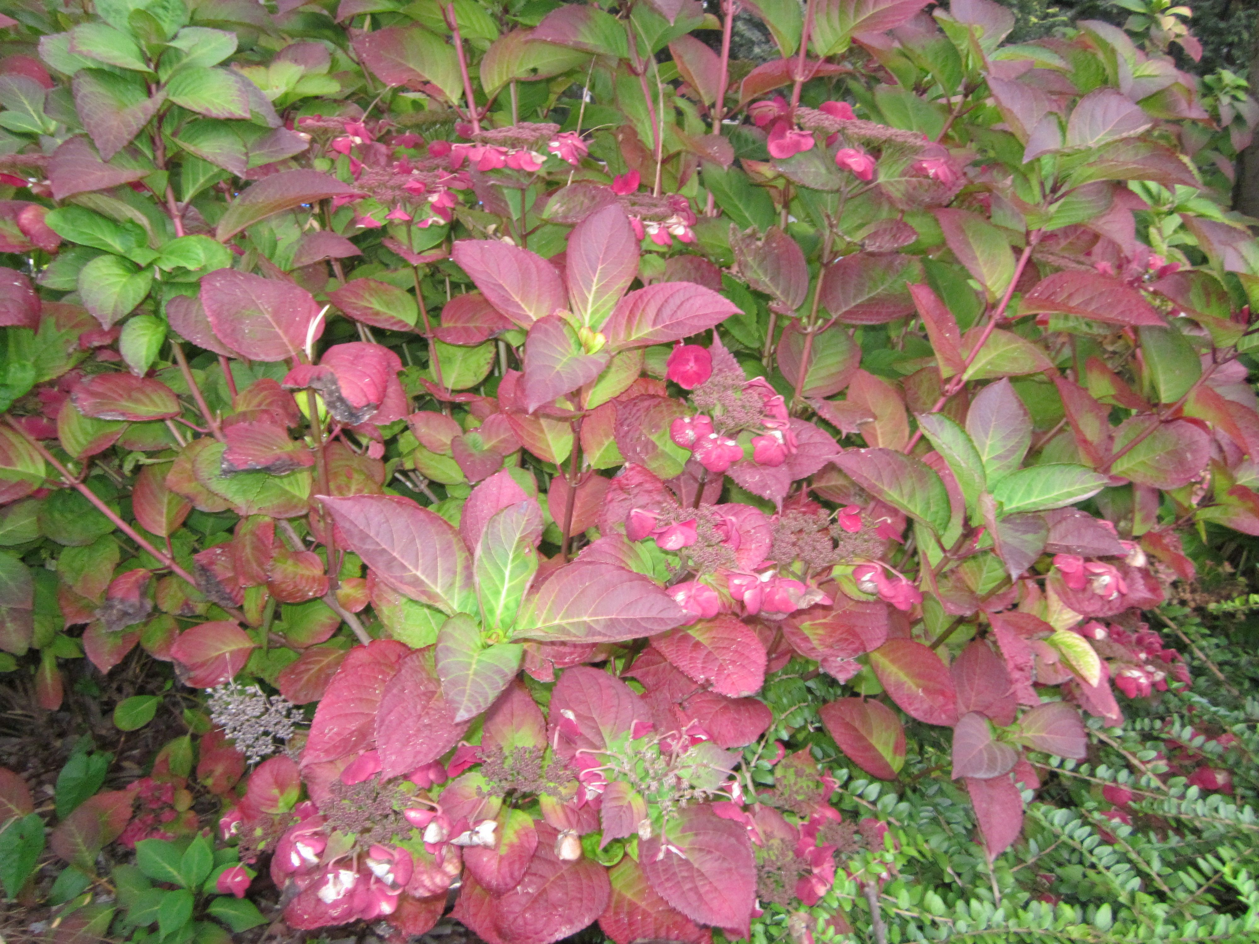 Hydrangea turning into red autumn is coming colourful shrubs