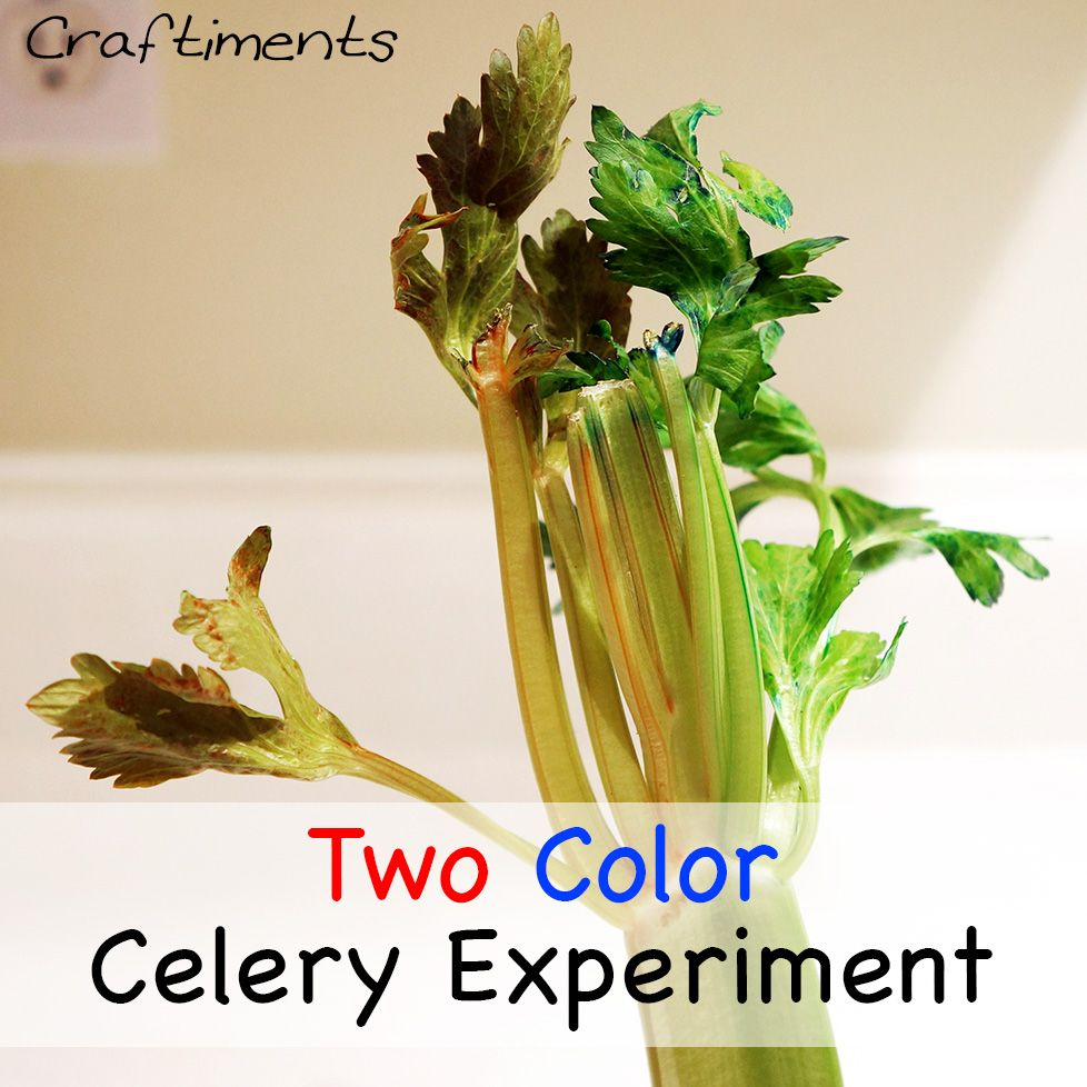 Pictures Of Celery In Food Coloring
