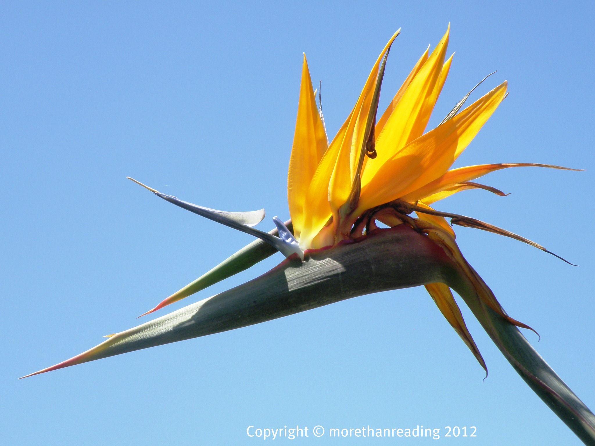 Spectacular 'bird of paradise'. Birds, Birds of paradise